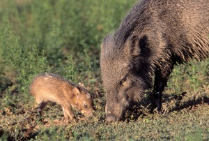 A collared peccary and her young. Peccary skin is soft and pliable, but also very strong, so is ideal for making leather goods, especially gloves.