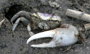A male fiddler crab sitting outside its burrow