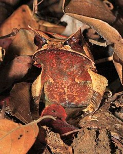 A Malayan horned frog, showing off its horniness.