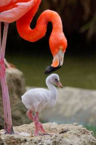 A flamingo tending to its chick. Chicks don't start to look like flamingos for a while after birth; the strange beak develops at two weeks and full adult plumage may not develop for five years.