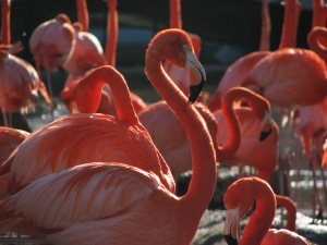 A picture of some flamingos I took at Sea World in San Diego. Notice the ridiculously long neck; flamingos often are seen with their heads resting on their bodies to save their necks from doing all the work.