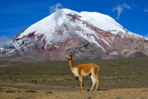 A vicuna looking lonely below a big mountain peak.
