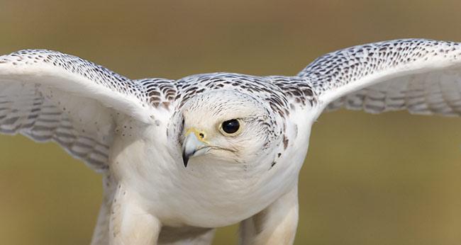 Gyrfalcon (Falco rusticolus) – Our Wild World
