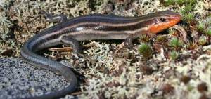 A male five-lined skink. In the breeding season they often get a bright orange patch under their chin. Looks pretty rad. Photo: Joe Crowley