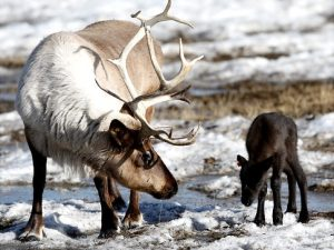 A reindeer calf, being adorable.