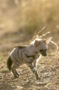 Adorable baby aardwolf. It's so cute (And kind of funny looking).