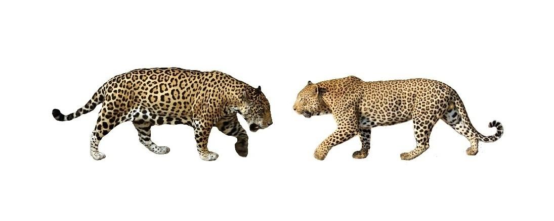 Jaguar (Panthera onca) – Our Wild World