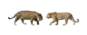 A comparison between a jaguar and leopard. 'Spot' the difference? The jaguar is on the left.