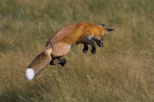 A red fox leaping to catch some prey. They use their tails in the air to steer during their impressive jumps.