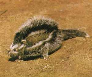 A maned rat. Good pictures of these guys are hard to find!