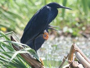 Black Heron, Chilwa, 26-Sep-08 (4) L
