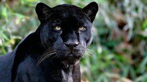 A black jaguar, the result of a somewhat common melanistic coat colouration (6% of the population). I think the spotted ones look nicer, but black is pretty cool.