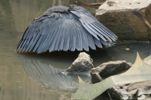 A black heron canopy feeding