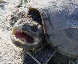 Close up of a snapping turtle's face. Notice the nostrils, right on the tip of the snout. Very useful!