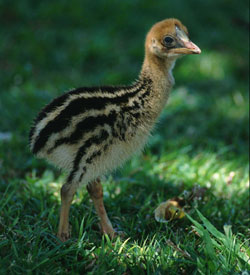 A cassowary chick. They don't look much like their parents, do they?