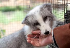 A Belyaev fox. Notice the white markings and floppy ears. I want one!