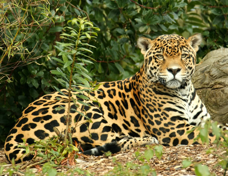 Jaguar  Panthera Onca   U2013 Our Wild World