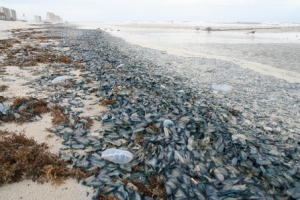 A ridiculous amount of by-the-wind sailors washed up on a beach. Anyone for a swim?