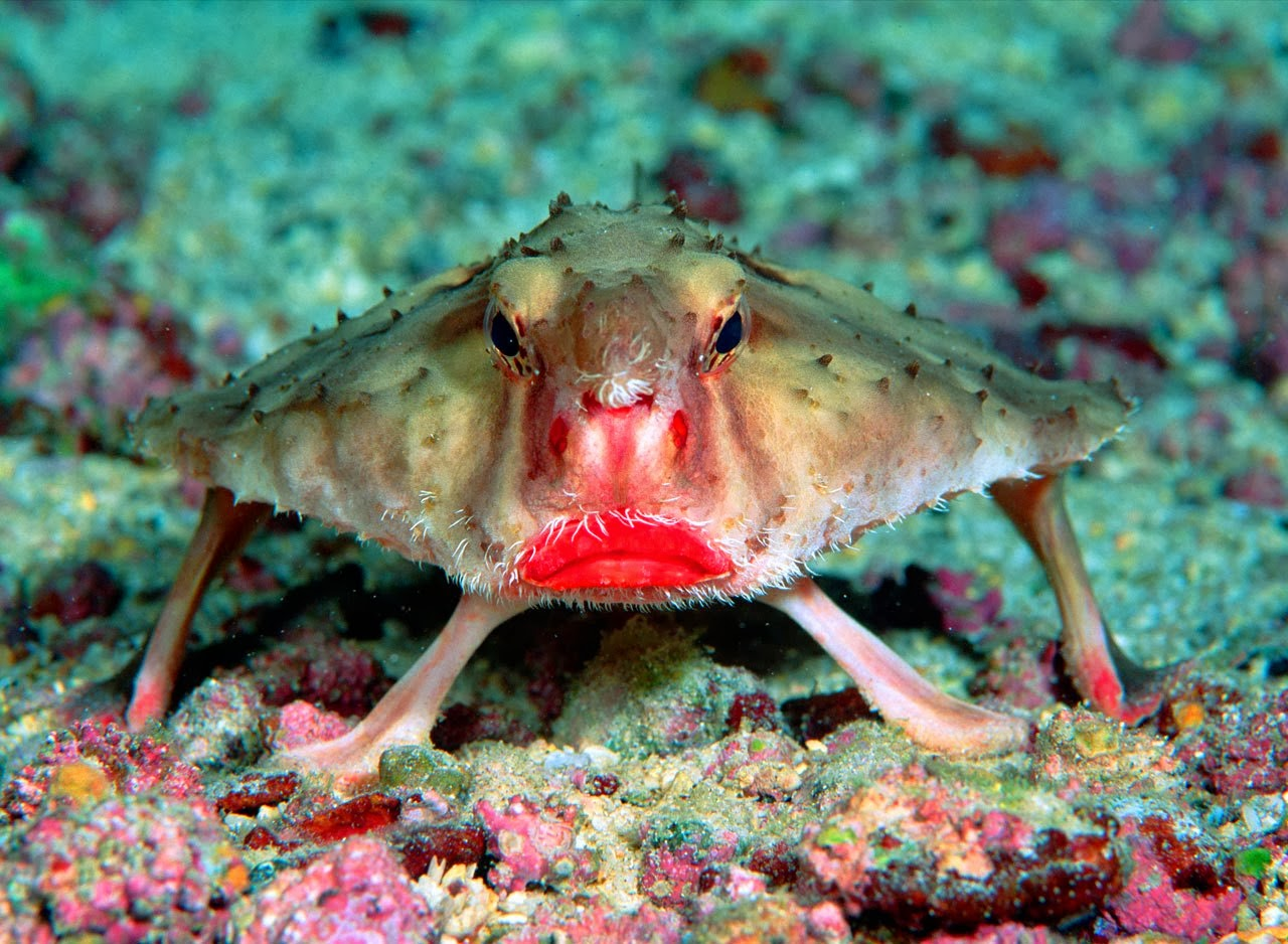 red-lipped-batfish.jpg
