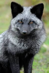 The silver morph of the red fox.