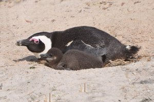 A mother penguin with her chick. Adorable, aren't they?