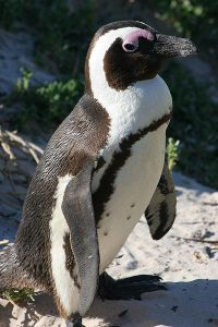A cute African penguin. Notice the pink patch above the animal's eye.