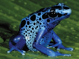 A blue poison dart frog. They are named poison dart frogs because native peoples used their toxins to coat blow darts to make them deadly weapons.