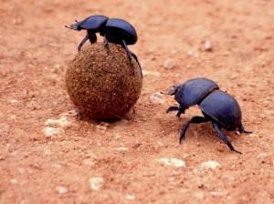A dung beetle rolling a ball away while a thief looms nearby. Scientists originally thought dung beetles would help each other roll their poop balls, but it turns out they are actually just thieves.