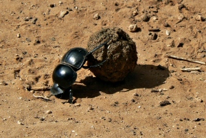 A dung beetle working hard to get its bell of poo to a safe place.