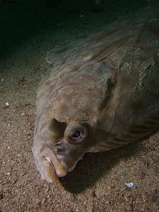 A close up of a halibut's head. They are really weird looking.