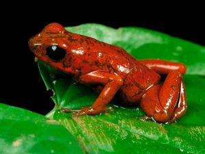 A very pretty strawberry poison frog.