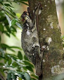 A colugo clutching a tree. It actually blends in pretty well, doesn't it?
