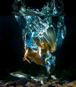 An incredible shot of a kingfisher diving for fish. Photo credit to Koen Cuppens.