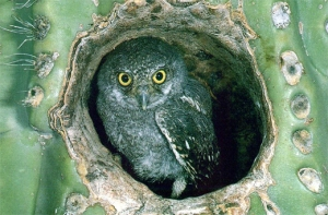 An elf owl looking cosy in a cactus.