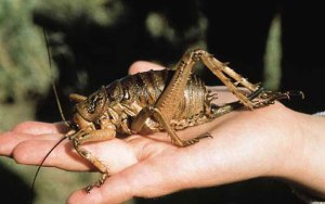 A giant weta with a hand for scale. That's one big bug!