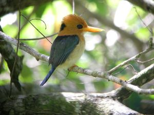 A silly looking yellow-billed kingfisher.
