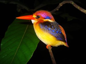 An oriental dwarf kingfisher, chilling on its perch.