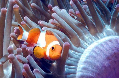 Clownfish subfamily amphiprioninae our wild world for Clown fish care