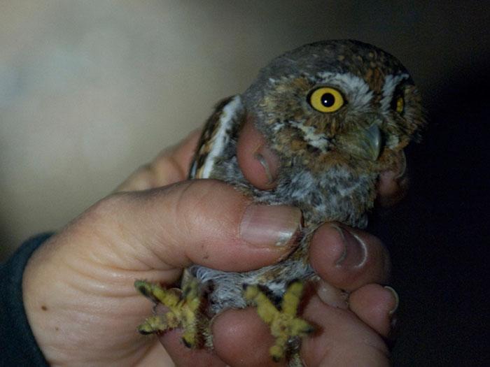 Elf owl | Our Wild World
