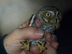 An elf owl being held by a human, for scale.