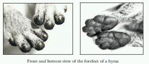 hyrax_feet