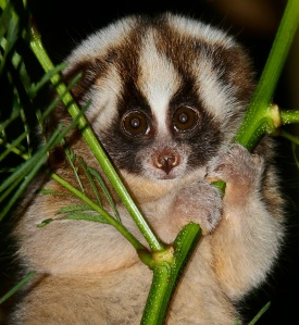 A slow loris. They're pretty cute, in a weird way.