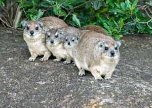 A family of rock hyraxes, looking super cute.