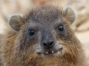 A hyrax with its tusks, grown from the incisors instead of canines (which hyraxes don't have).