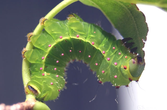 Luna Moth (Actias Luna) – Our Wild World