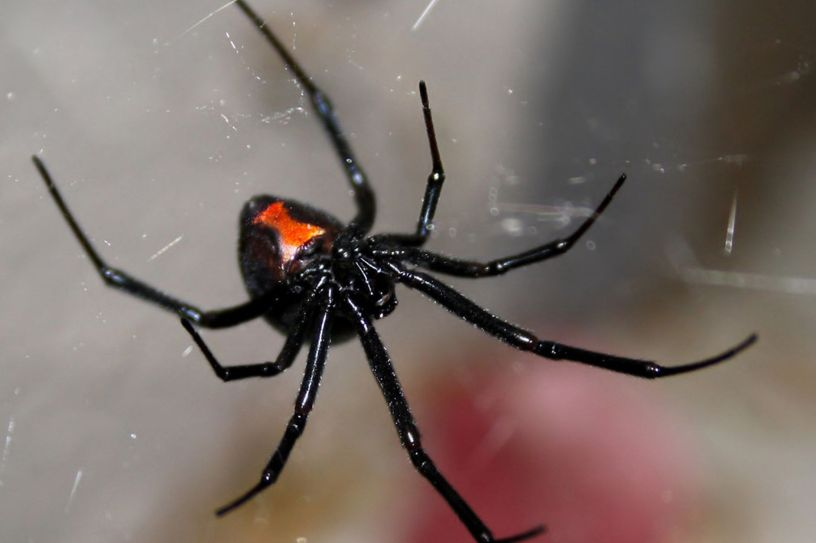Black Widow Spider Genus Latrodectus Our Wild World