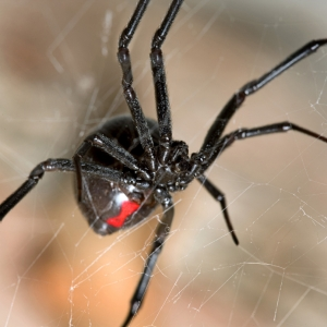 A black widow spider with the characteristic hourglass marking. You readers were lucky to get pictures in this post, just searching for them made my skin crawl.