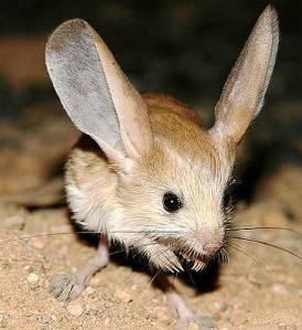 A long-eared jerboa, looking pretty silly.