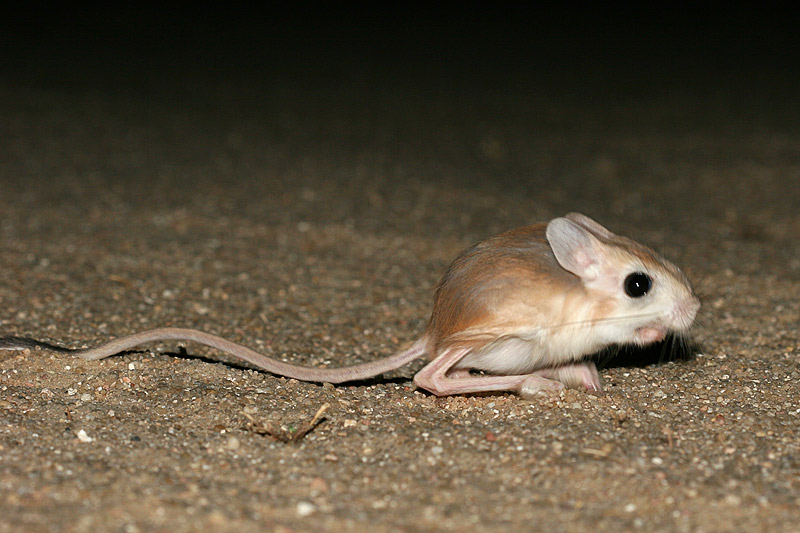 jerboa family dipodidae our wild world
