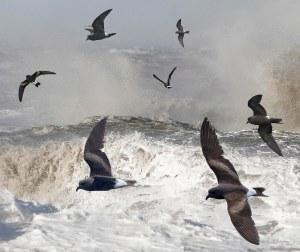 Leach's storm petrels enjoying a stormy sea. Photo by Richard Crossley.